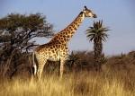 Снится жираф