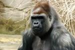 Сонник - горилла