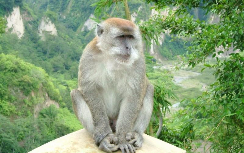 снится обезьяна