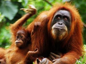 снится орангутанг