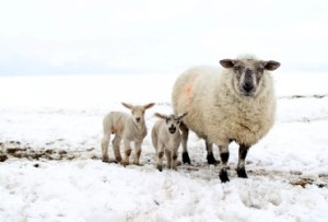 снятся овцы