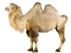 снится верблюд