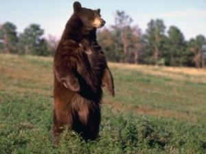 снится медведь